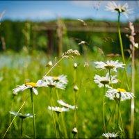 На ромашковом поле, сердце мое....я не буду гадать, любит или не любит.... :: Ольга Шульгина