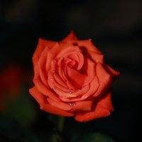 роза на темно фоне :: Muslim Kenzhebayev