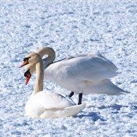 Пара лебедей... :: Андрей Медведев