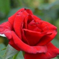 роза :: Igor Osh