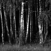 Birch Grove :: Света Гончарова