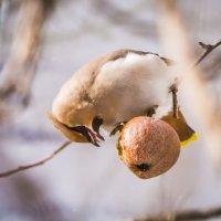 Свиристель и прошлогоднее забродившее яблоко=) :: Соня Орешковая (Евгения Муравская)