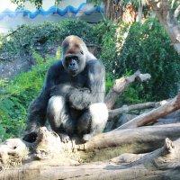 Большая обезьянка. :: Светлана Григорьева