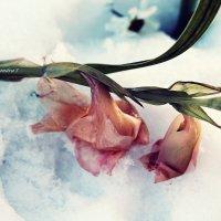 Цветы в снегу :: Александра Ивасенко