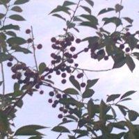 веточка вишни :: Наталья и Игорь Трошкины