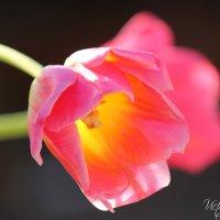 Тюльпаны :: Виктория Левина