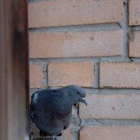 На балконе голубок :: Тимофей Герасимов