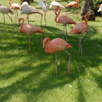 Розовый фламинго :: susanna vasershtein