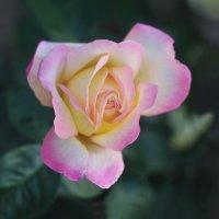 Роза :: Виктор Берёзкин