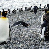 Пингвины Огненной земли :: Irina Shtukmaster