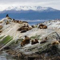 Морские львы канала Бигль :: Irina Shtukmaster