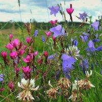 Полевые цветы :: Павлова Татьяна Павлова