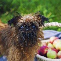Грифон с яблоками :: Михаил Калакуцкий