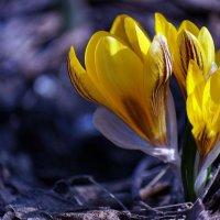 Весны цветы. Первые крокусы :: Александр Резуненко