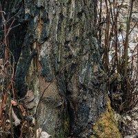 Очень грустное дерево :: Николай Ефремов