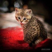 Грустный комнатный тигр :: Sergey Tyulev