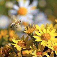 Рабочая  пчела :: Геннадий С.
