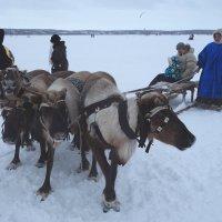 Дельтапланом хорошо, снегоходом хорошо, а олени лучше... :: Vladimir 070549