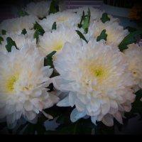 Белые хризантемы :: Svetlana27