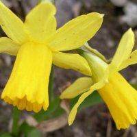 Весенние цветы :: lara461
