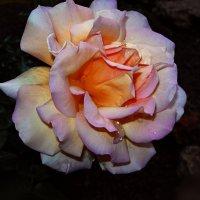 Жила была на свете роза.. :: Татьяна и Александр Акатов