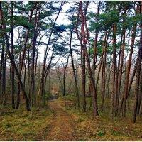 Куршская коса, сосновый лес. :: Валерия Комова
