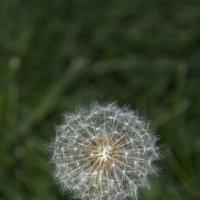 Нежный шарик :: Andrey65