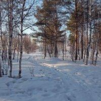 Северодвинск. Весна. У Белого моря. Берёзки и сосенки :: Владимир Шибинский