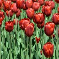 Тюльпаны :: Дмитрий Конев