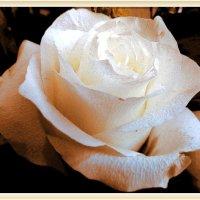 Белая роза :: Светлана Лысенко