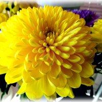 Солнечные хризантемы :: Svetlana27
