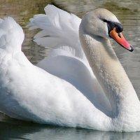 Лебедь гордо выплывает! :: Наталья