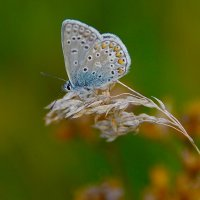 Голубянка :: kolyeretka