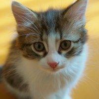 Как назвать котенка?Тигром иль Мышонком?!! :: Валентина Налетова