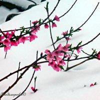 Ветка персика на снегу :: Юрий Владимирович