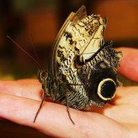 ручная бабочка :: Вадим Виловатый