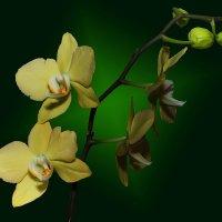 Орхидея 4 :: Владимир