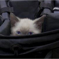 сумчатый обытатель(Кофрик)-из серии Кошки очарование мое! :: Shmual Hava Retro