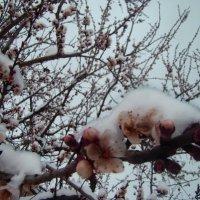 Весна Снежная :: Lika PR
