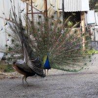 разборка на задворках птичьего двора :: Слава