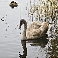 Лебедёнок. :: Валерия Комова