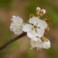 Первое цветение :: Ольга Тюрина