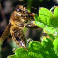 Пчёлка :: оля san-alondra
