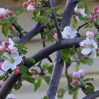 Один раз в год сады цветут.... :: Маргарита ( Марта ) Дрожжина