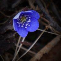 Весенний цветок :: Анатолий