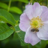 Пчелка :: Эдуард Малец