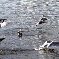 чайки за кормой :: petyxov петухов