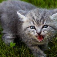 Страшнее кошки зверя нет! :: Дмитрий