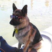 Морской, пограничный, суровый пес Перехват! :: Наташа Шамаева