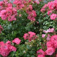 Розовое лето :: Ольга